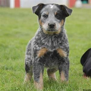 Blue Heeler Puppies For Sale | Greenfield Puppies
