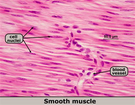 It is the pen diagram of skeletal, smooth and cardiac muscle for class 10, 11 and 12. Ch 4 Study Guide - Biology 2721 with Purcell at Saint Paul College (MN) - StudyBlue