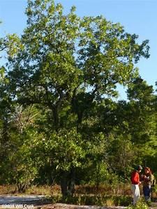 Turkey Oak  Quercus Laevis