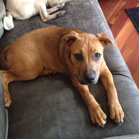 blackmouth cur dog breeds picture