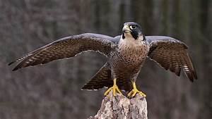 Falcon : National Bird of Qatar   Interesting Facts About ...  Falcon