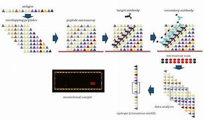 Microarray Peptide Epitope Mapping Creative Vaccine Powerful