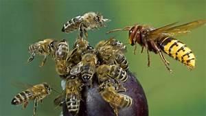 Bienen Und Wespen : was tun bei einem hornissenstich gefahren und behandlung ~ Whattoseeinmadrid.com Haus und Dekorationen