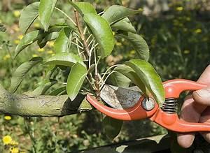 Comment Tailler Un Abricotier : la taille des fruitiers ~ Melissatoandfro.com Idées de Décoration