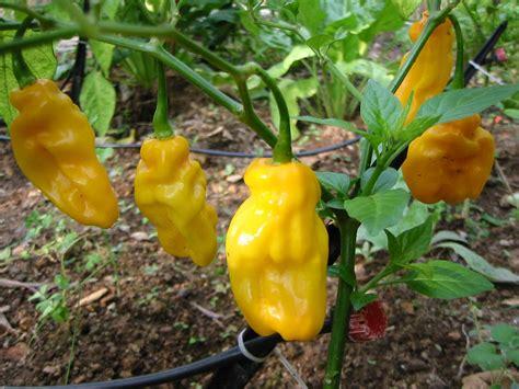 habanero chili pflanze kaufen habanero gelb chili ultrascharf
