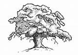 Coloring Pages Oak sketch template