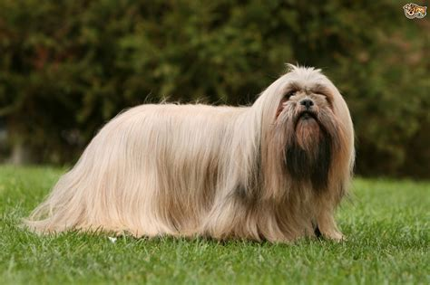 lhasa apso breed shedding lhasa apso breed information buying advice photos