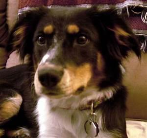 Border Collie Australian Shepherd Mix Pictures