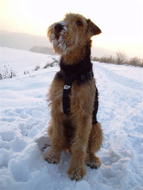 airedale terrier breed information history health