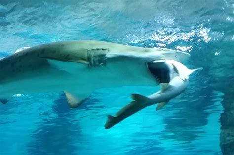 un requin en mange un autre dans un aquarium de s 233 oul insolite