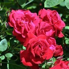 Rosier Grimpant Remontant : rosier de banks alba rosa banksiae alba bojardin ~ Melissatoandfro.com Idées de Décoration