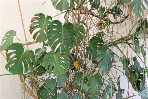 Philodendron Arten Bilder by Facharzt F 252 R Lungenerkrankungen