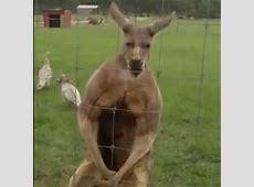 Muskulöses Känguru