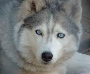 husky blue eyes by vercaserenity on DeviantArt