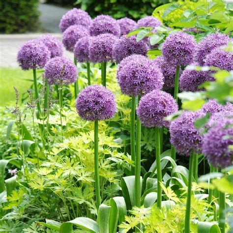 allium bulbs giant allium bulbs giganteum buy in bulk at edenbrothers com