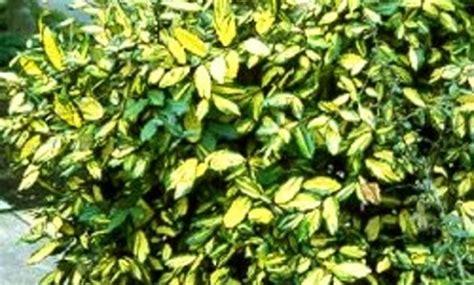 d 233 co arbuste persistant ombre 31 arbuste japonais nain arbuste a fleur jaune odorante