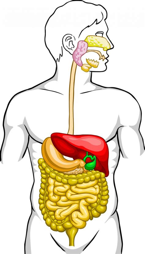 Human Diagram Unlabeled by Unlabeled Digestive System Diagram Clipart Best