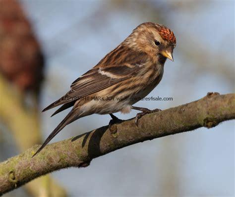 u k wildlife pictures for sale birds butterflies lesser