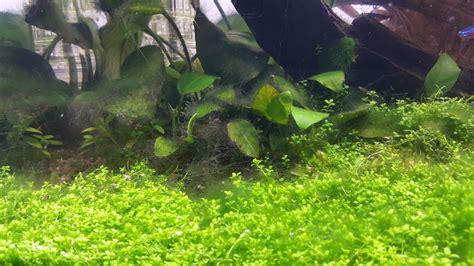 algues vertes filamenteuses et param 232 tres d eau