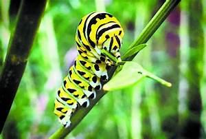 Caterpillar Creeping