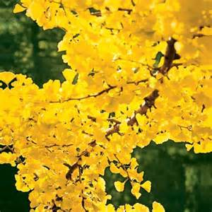 gingko 10 best trees and shrubs for fall color this house