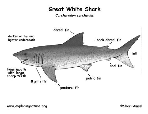 Great White Shark Diagram dogfish portion diagrams pictures to pin on
