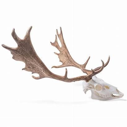 Deer Skull Fallow Dama Male Ungulates Toed