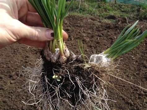 planting garlic love2learn allotmenting