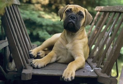 bullmastiff shedding a lot breed pictures the right for you your health