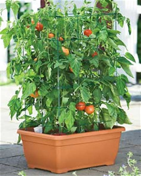 Garden Sense Great Tomatoes Plants Grown In Containers