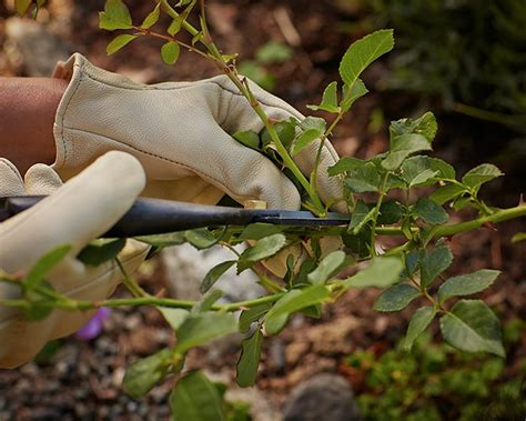 how to trim roses in summer plantinfo
