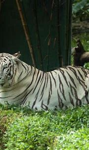 Exotic Sapphire Blue-Eyed White Tigers - Amazing Sunway ...