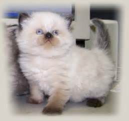 himalayan cats for picture clip pictures himalayan kittens
