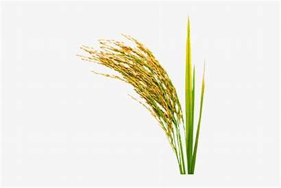 Rice Transparent Plant Clipart Pngio Psd Crops