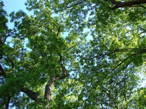 Canopy Of Leaves new tool against pollution is ancient tree canopies