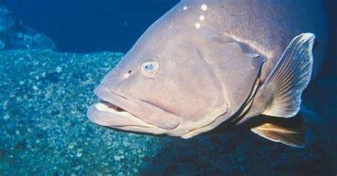 grouper limit