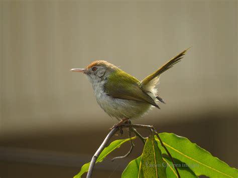 img 0024 the tailor bird the common tailor bird is found