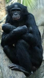 Bonobo - Encyclopedia Article