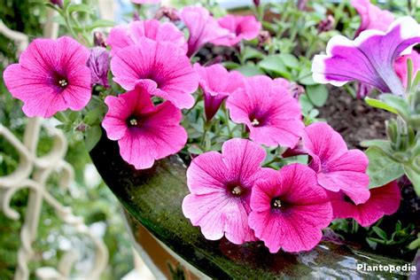 plant petunias petunia flowers how to plant grow and care from seeds plantopedia