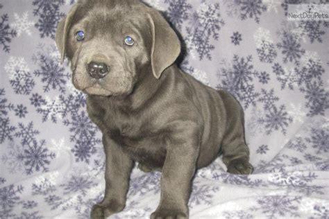 meet patch  cute cane corso mastiff puppy  sale