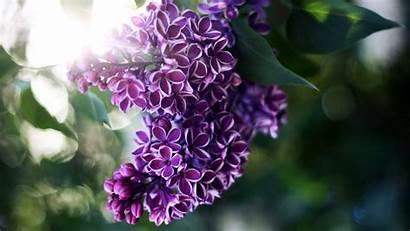Lilac Desktop Flowers Wallpapers Definition Wallpapersafari