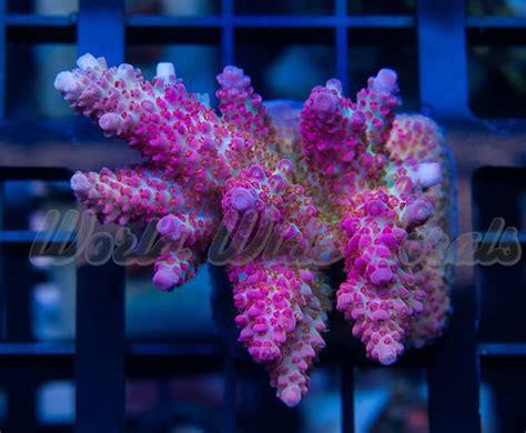 Top 7 rainbow SPS and Acropora corals - Reef Builders ...