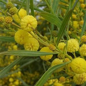 Mimosa Résistant Au Froid : mimosa des 4 saisons acacia retinoides semperflorens mimosa r sistant au calcaire ~ Melissatoandfro.com Idées de Décoration