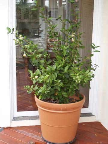 1000 ideas about tea plant on green tea plant coffea arabica and how to grow