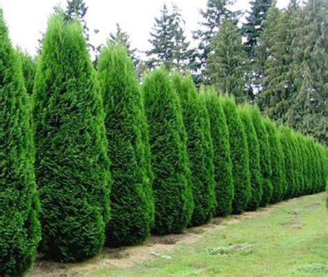 arborvitae tree arborvitae emerald green affordable trees