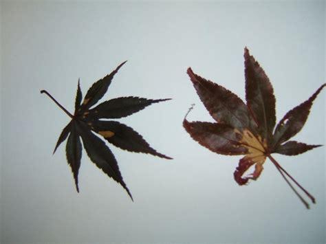 japanese maple leaf spots japanese maple bloodgood tree ask an expert