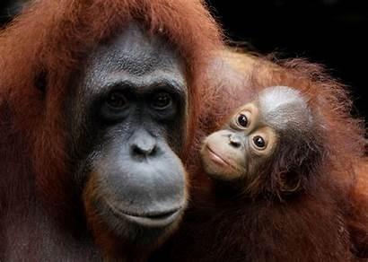 Orangutan Zoo Singapore Mother Orangutans Endangered Otters