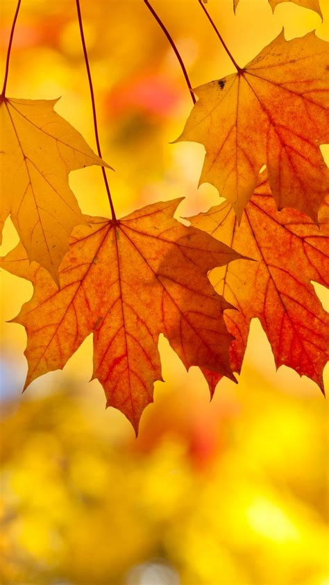 Autumn Themed Wallpapers For Android by Fall Leaves Iphone Background Wallpapers Gallery