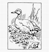 Coloring Tadpole Ducklings Printable Duckling Duck Clipart Clipartkey sketch template