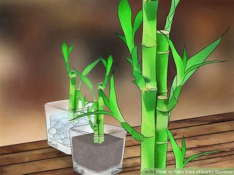 japanese bamboo plant care how to take care of lucky bamboo 12 steps with pictures